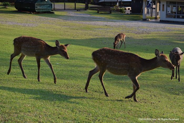 横切る鹿の親子