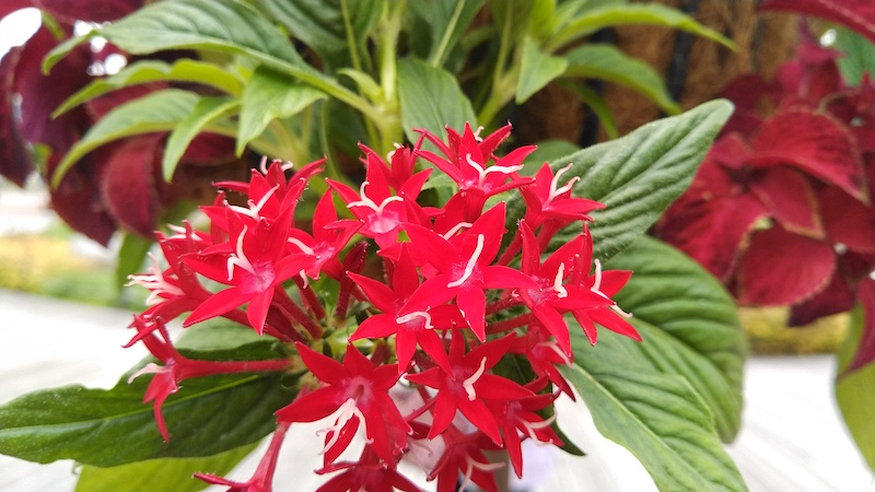 赤い花の画像