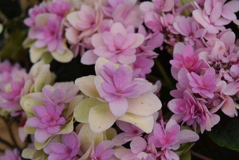 可愛らしいピンク色の紫陽花